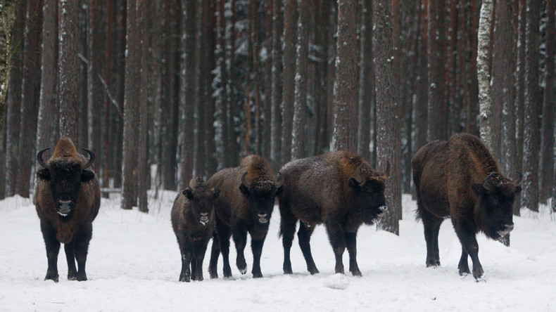 17 Wisente von Schweden nach Russland umgesiedelt