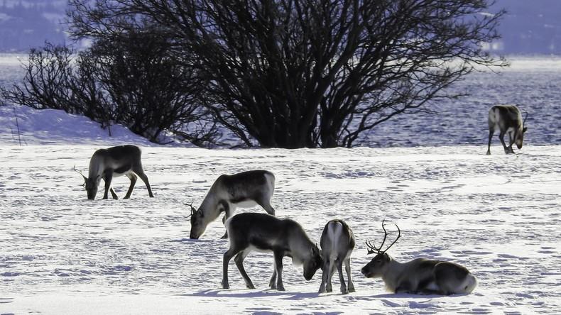 Züchter schenken Rentieren Peilsender zu Weihnachten – um ihr Leben zu retten