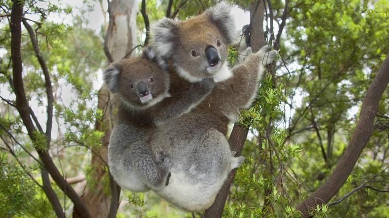 Zwei Koalas ringen auf der Straße in Australien – Verkehr unterbrochen