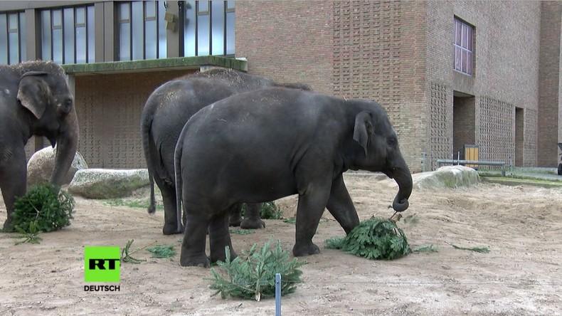Berliner Zoo: Elefanten freuen sich über übriggebliebene Weihnachtsbäume