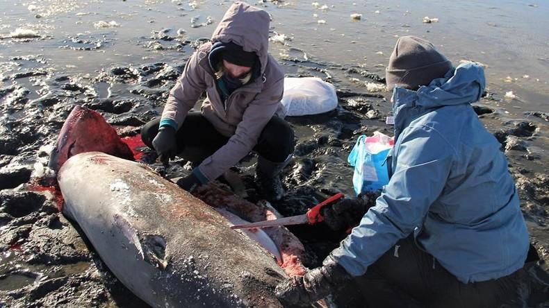 Nach starkem Frost: Zwei Fuchshaie erfrieren in USA