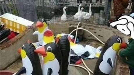 Aufblaspinguins und Geflügel statt Wildtiere: Chinesischer Zoo enttäuscht Besucher