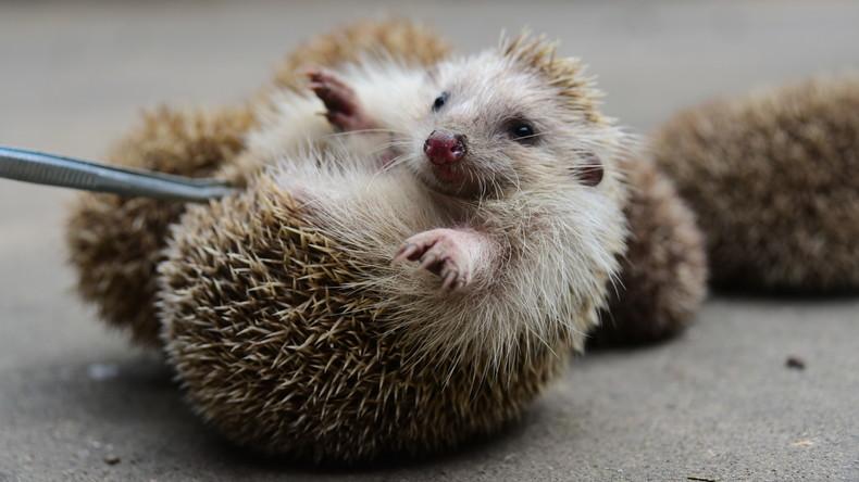 Dicker Igel kann sich nicht mehr einrollen – Schlankheitskur im Safari-Zoo von Tel Aviv