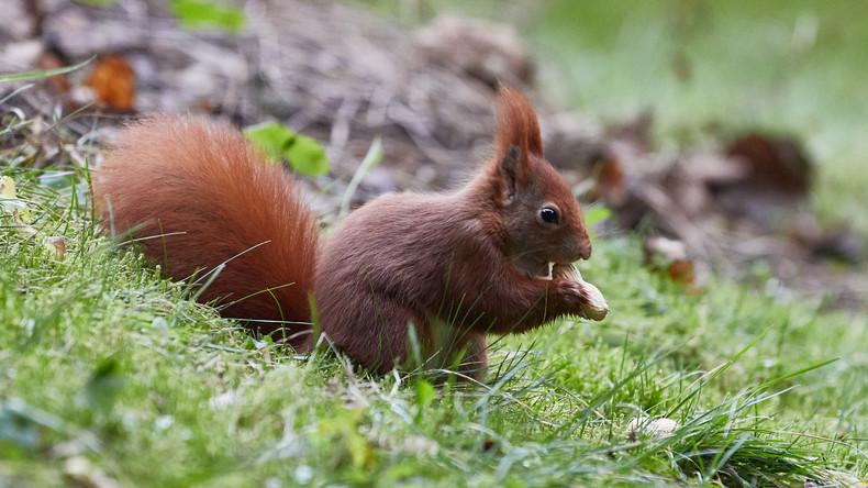 """""""Kat(z)astrophe"""": Misslungener Versuch, ein Eichhörnchen in die Natur freizulassen"""