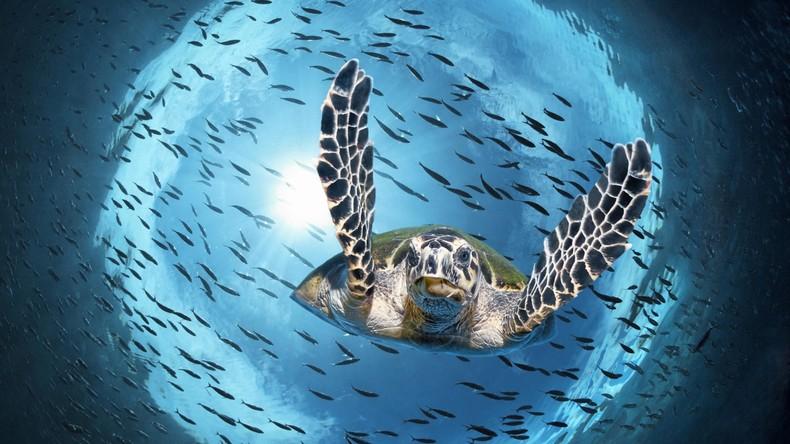 Vom Aussterben bedroht: Immer weniger männliche Meeresschildkröten durch steigende Temperatur