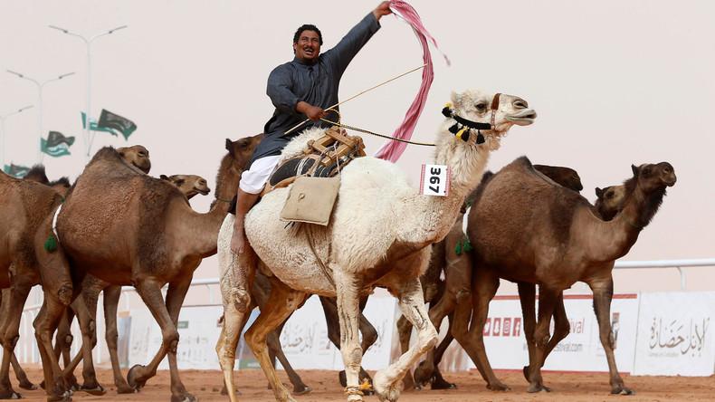 Zwölf Kamele dürfen wegen Schummelei nicht am Schönheitswettbewerb teilnehmen