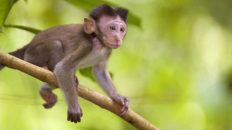 """Erstmals Affen mit der """"Dolly""""-Methode geklont"""