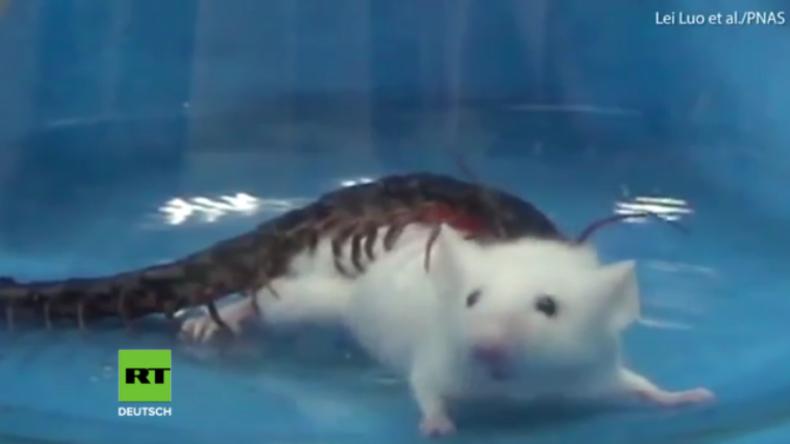 Chinesische Wissenschaftler demonstrieren extrem tödliches Gift eines Hundertfüßers an Maus