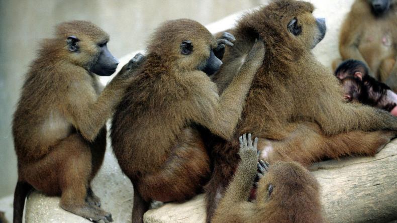 Misslungener Ausbruch: Massenflucht der Paviane löst Evakuierung in Pariser Zoo aus