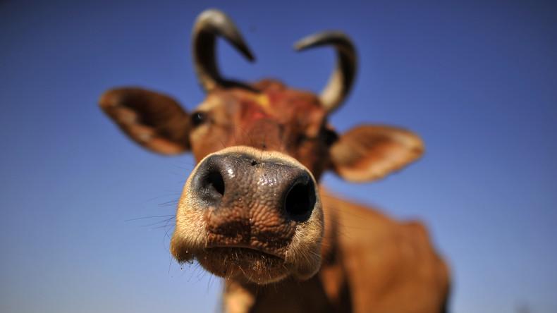 Bill Gates investiert 32 Millionen Euro in die perfekte Kuh