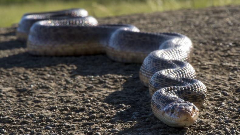 Australische Familie von Spuk heimgesucht: Schlange im Spülkasten lässt sie an Gespenster glauben