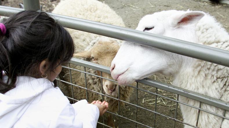 Entrüstung in Berlin-Neukölln: Trächtiges Schaf in Streichelzoo geschlachtet