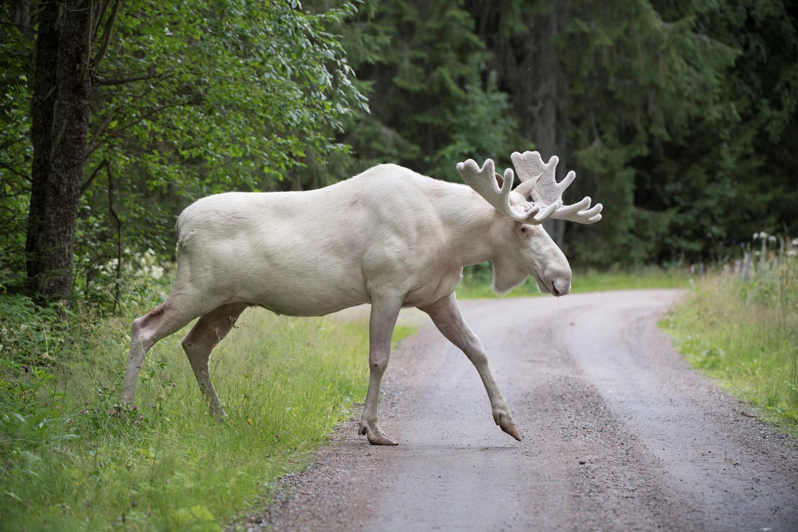 Ein seltener weißer Elch, Gunnarskog, Schweden, 31. Juli 2017.