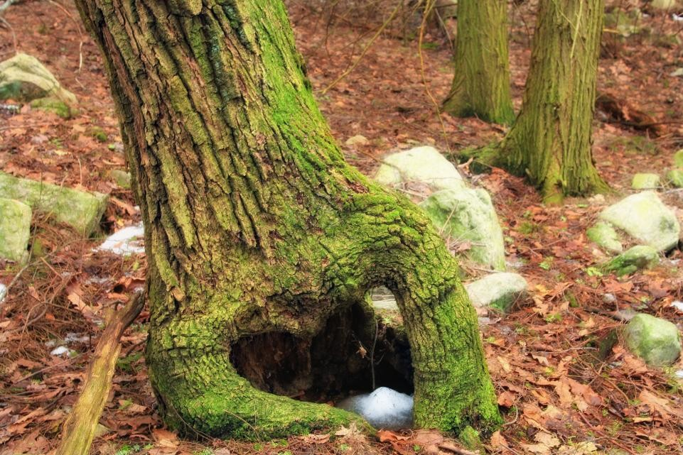 60 Jahre lang gefangen: Mumifizierter Hund in altem Baum entdeckt