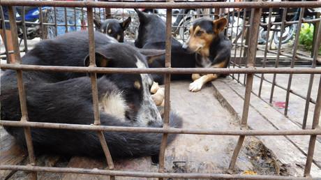Hunde, die auf die Schlachtung warten, Langowan Market