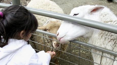 Ein Mädchen füttert im Zoo des New Yorker Central Parks Schafe, USA, 7. April 2001.