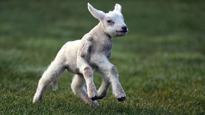 Lamm mit fünfeinhalb Beinen in Nordengland geboren