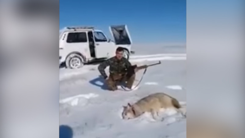 """Karma? """"Erlegter"""" Wolf kehrt ins Leben zurück, um sich an seinem Jäger zu rächen"""