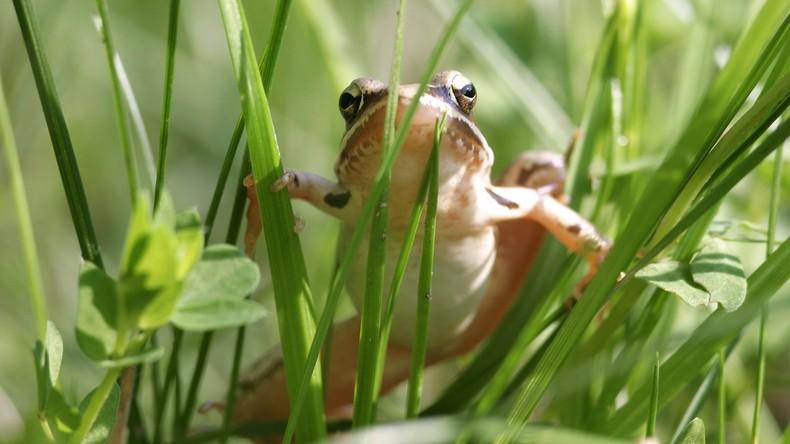 Romeo mit Warzen: Tierforscher schaffen für vom Aussterben bedrohten Frosch Profil in Dating-App