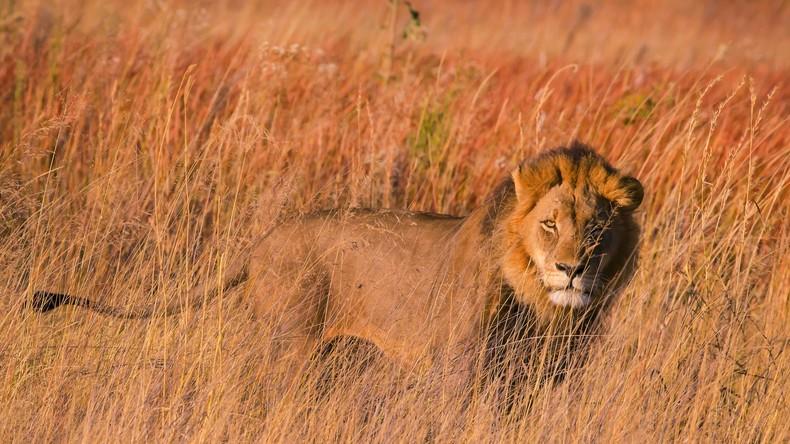 Löwen in Südafrika fressen mutmaßlichen Wilderer auf