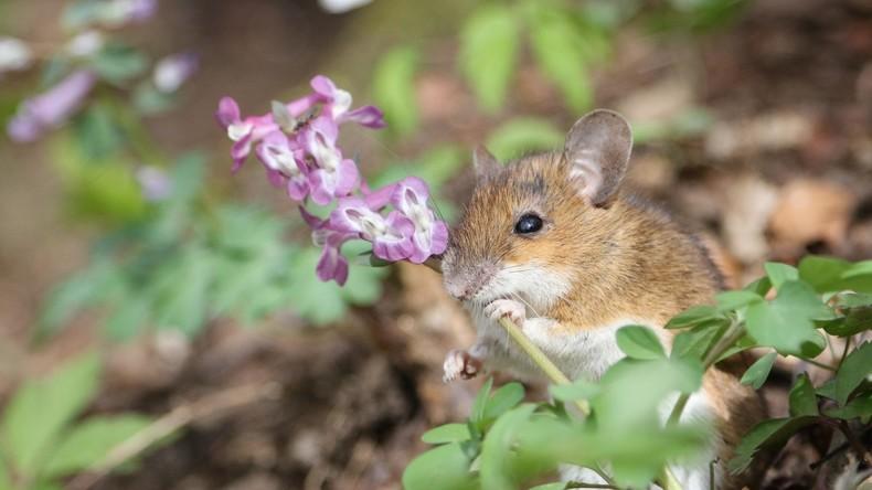 Aus die Maus? Neuseeland prüft Erfolg der teuersten Mäusejagd der Geschichte