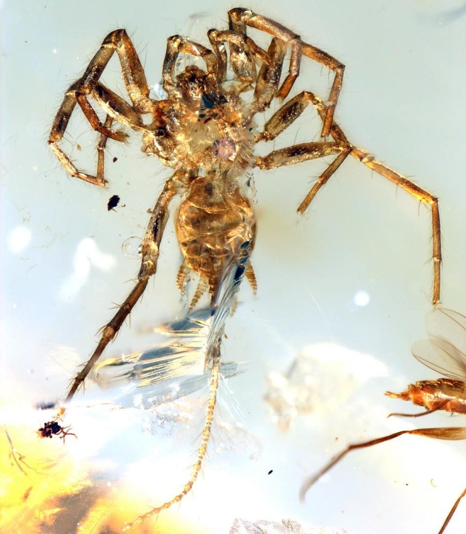 Rund 100 Millionen Jahre alte Spinne mit Schwanz in Bernstein entdeckt
