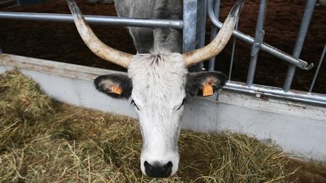 Einsatz genmodifizierter Futtersätze in Tiernahrung in zwei EU-Ländern nachgewiesen
