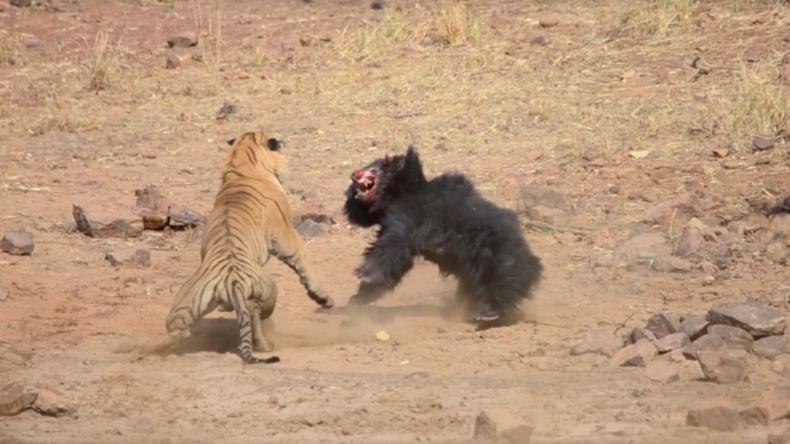 Indien: Spannendes Naturschauspiel – Bärenmutter kämpft erbittert gegen Tiger