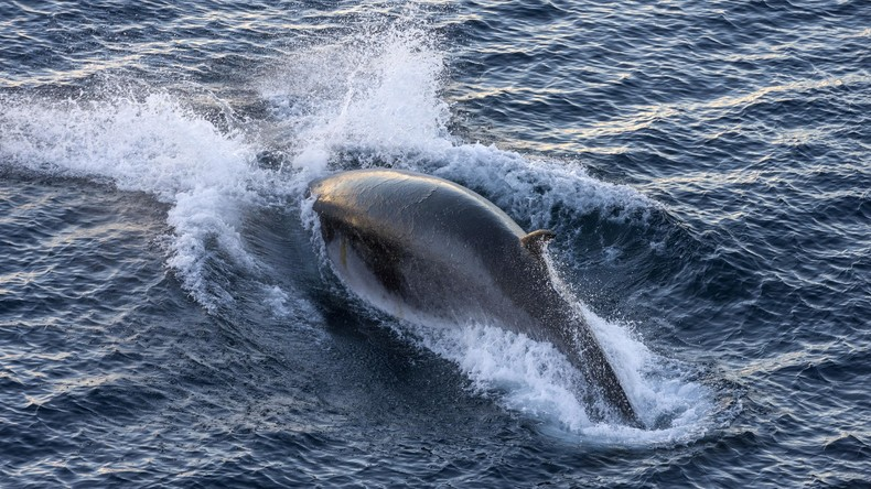Norwegen hebt Quote für Fang von Zwergwalen deutlich an