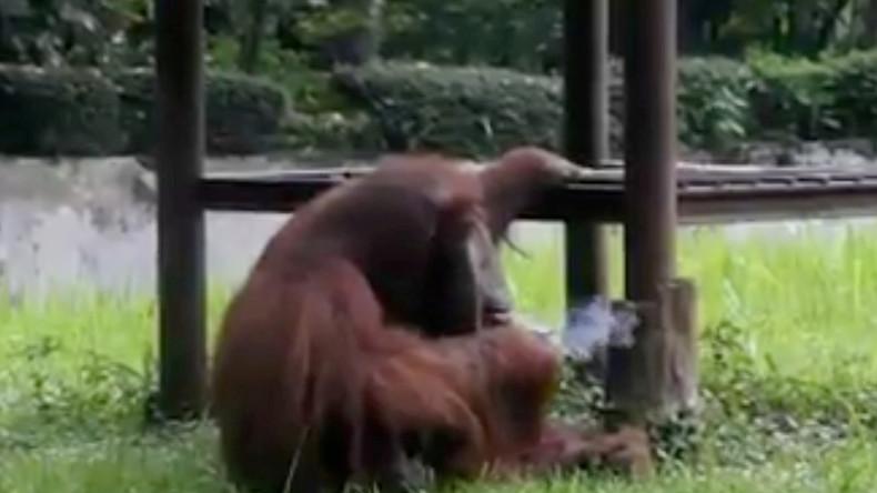 Indonesien: Orang-Utan raucht Zigarette im Zoo