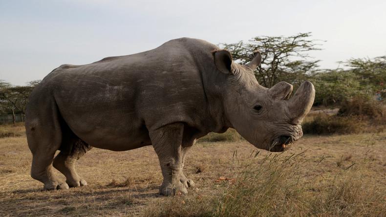 Letztes männliches Nördliches Breitmaulnashorn der Welt gestorben – nur zwei Weibchen geblieben