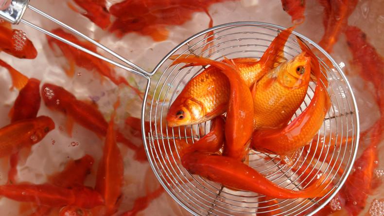 Verärgerter Chinese lässt Goldfische vor U-Bahn-Eingang ersticken, weil sie nicht hineindurften