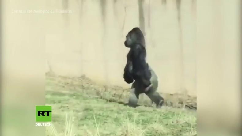 Evolution? Reinlicher Gorilla verblüfft Zoo-Besucher mit aufrechtem Gang