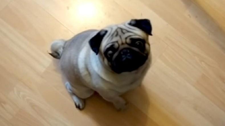 Dem Hund den Hitlergruß beigebracht: Gericht verurteilt YouTube-Blogger