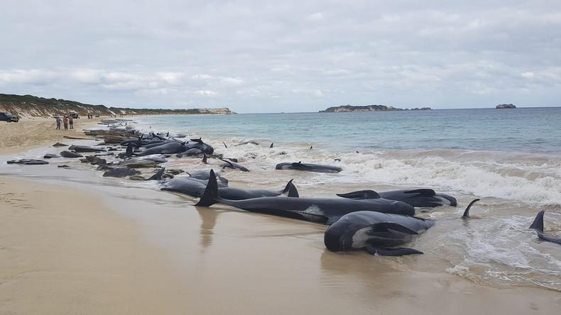 Über 150 Wale an Australiens Westküste gestrandet