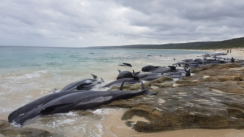 Walsterben vor Australiens Westküste: Nur fünf von gut 150 gestrandeten Tieren überleben