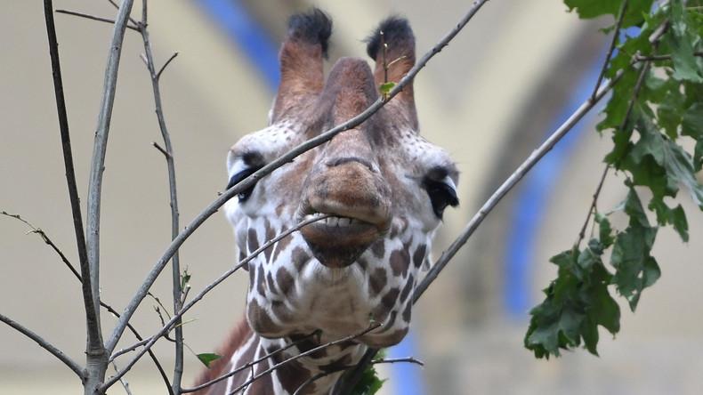 Zoo-Giraffe stranguliert sich an Astgabel