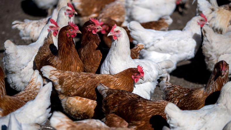 Zombie aus dem Tierreich: Kopfloses Huhn überlebt seit einer Woche