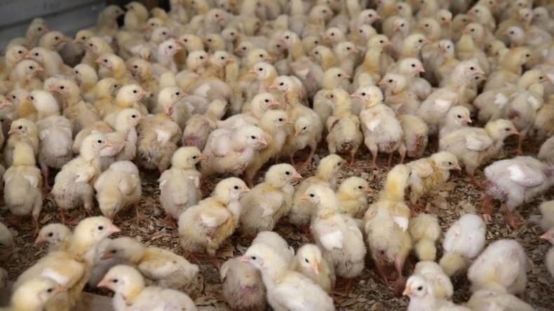 Kein Herz für Tiere: Jährlich werden über 40 Millionen Küken in Deutschland erstickt
