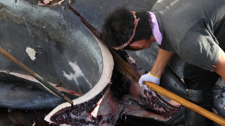 Japans Walfänger kehren mit 333 getöteten Zwergwalen aus Antarktis zurück