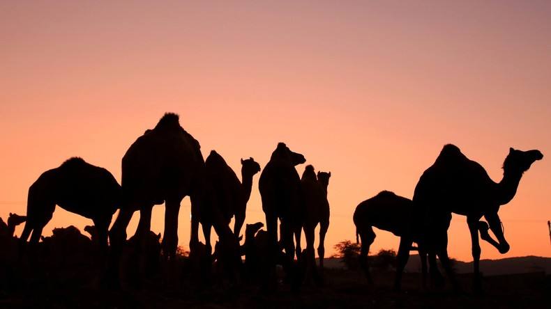 Kamele im Burger-Rausch: Ausgebüxte Kamele auf dem Weg zum Fast-Food-Restaurant
