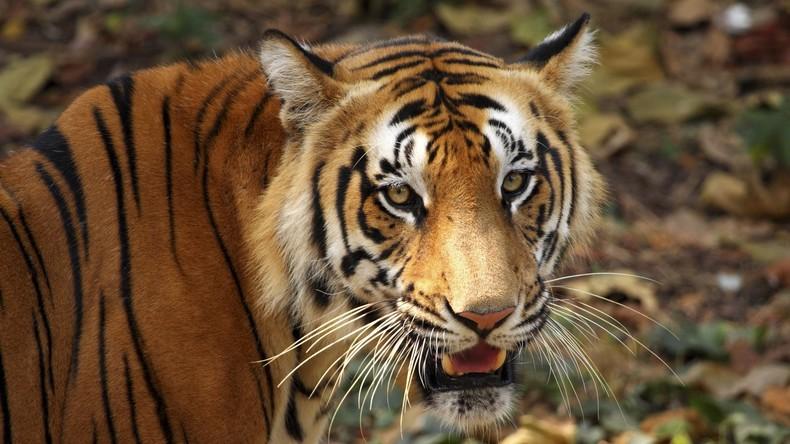 Hände weg von meiner Ziege: Inderin greift Tiger mit Stock an und überlebt