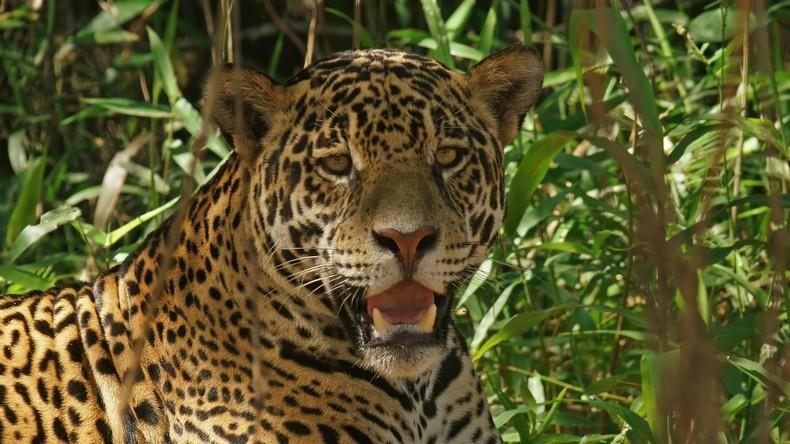 Obsession für Männer und Großkatzen: Zoologen nutzen Parfüm für Feldstudien