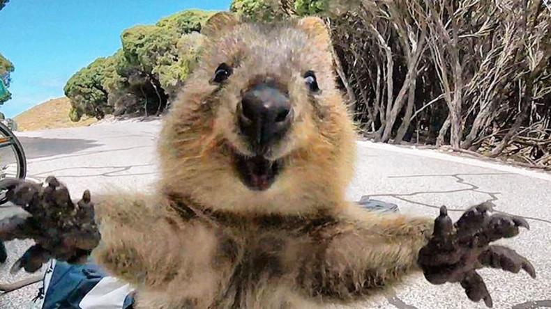 Instagram beschloss, dass Selfies den Quokkas schaden – Australier sind empört