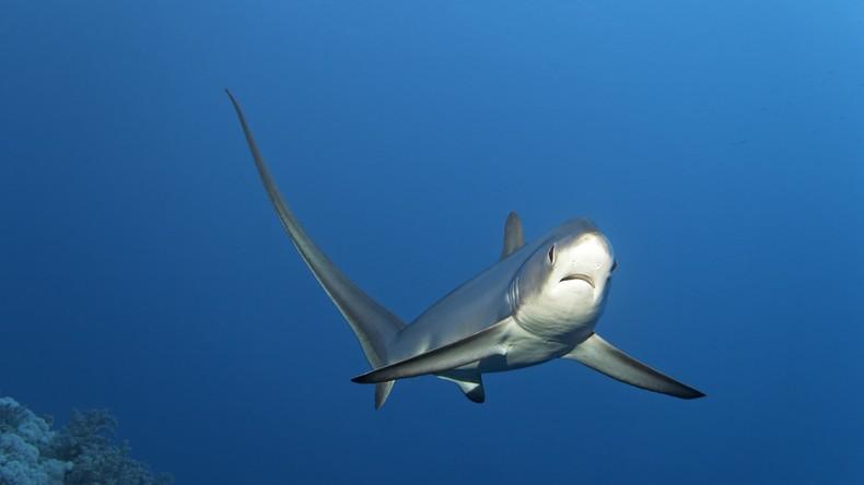 Bissiger Beifang: Hai beißt Mann in den Bauch und lässt ihn nicht mehr los [VIDEO]