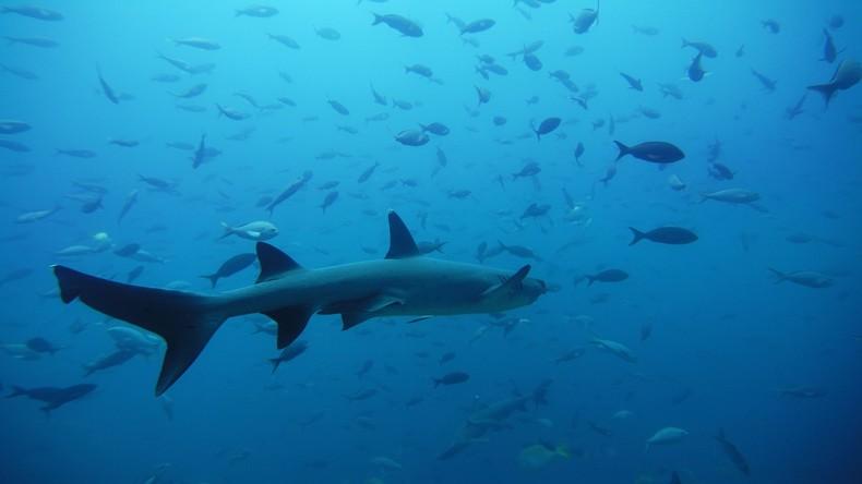 Geburtshelfer bei Bedarf: Fischer rettet 98 junge Haie per Kaiserschnitt