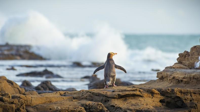 Tausende Pinguine an Neuseelands Küsten verendet - gestiegene Wassertemperaturen schuld