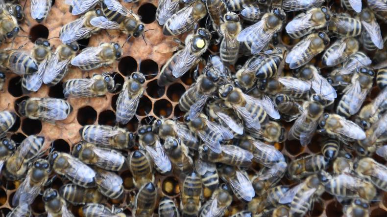 Von wütenden Bienen attackiert: Stiche verraten Insekten-Diebe in Israel
