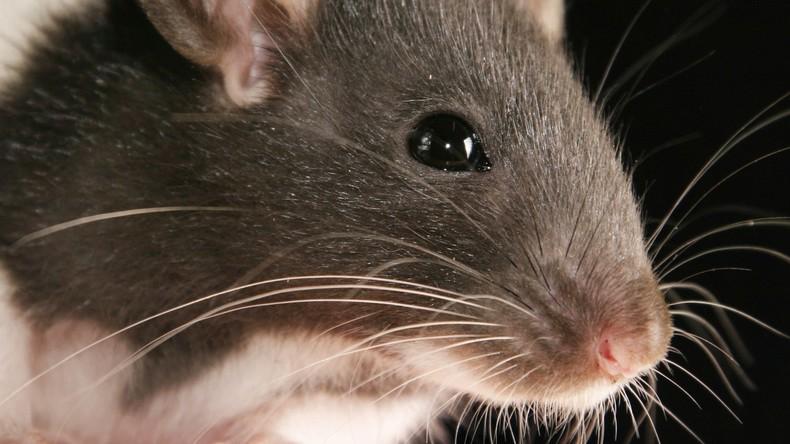 Wette verloren: Bürgermeister in Frankreich isst Ratte [VIDEO]