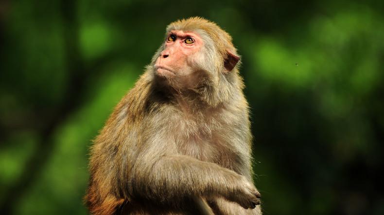 Makak hat keine Rechte an Foto: Streit über Selfie vom Affen Naruto beigelegt
